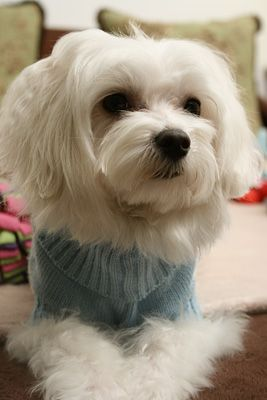 Sparrow Is A Goofy Fun Loving Maltese We Rescued Him At 4 Months