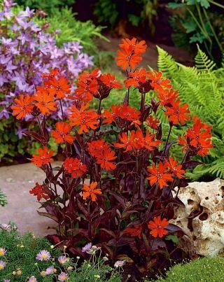 Firletka Vesuvius Sklep Swiat Kwiatow Dostawa Gratis Garden Seeds Seeds Plant Protection