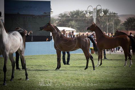 بطولة تحمل اسم المؤسس كان من الأفضل أن تظهر بشكل نفخر به جميعا Horses Arabian Horse Equines