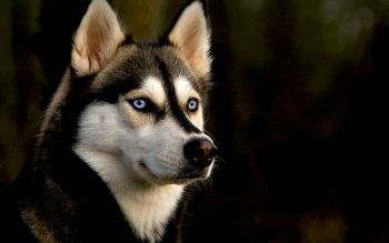 54 Siberian Husky Hd Wallpapers Background Images Husky Wallpapers Top Free Husky Backgrounds Wallpaperaccess In 2020 Cute Husky Puppies Husky Puppy Dog Wallpaper