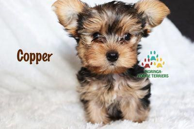Find Out More On The Tenacious Yorkie Dog Yorkshireterrierbrasil Yorkshireterrierlife Yorkiepuppynearme With Images Yorkie Terrier Yorkie Yorkie Puppy