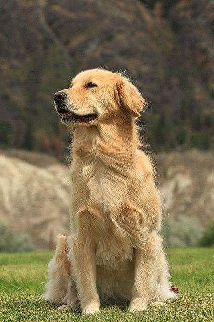 Golden Retriever Image By Randy Reitan On Golden Retriever Dogs