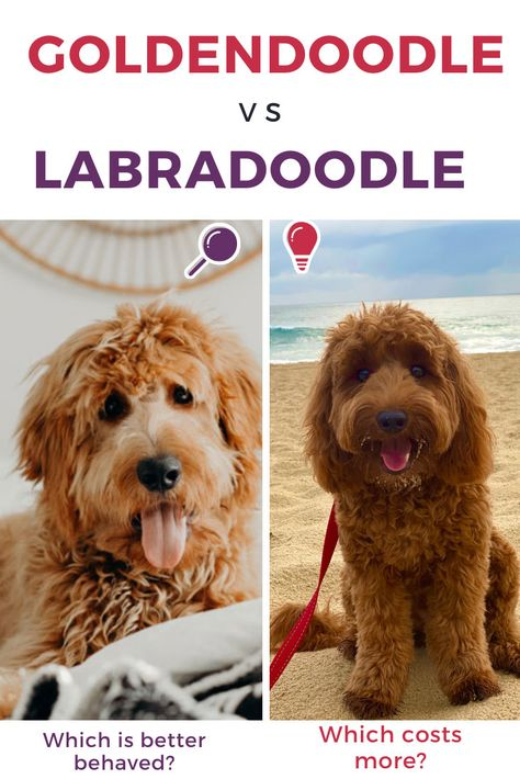 Goldendoodle Vs Labradoodle Complete Comparison Guide Both of these breeds are in hot demand. Which is perfect for your family? Which costs more? Which is better with children? F1b Mini Goldendoodle, Goldendoodle Grooming, Australian Labradoodle, Goldendoodles, Labradoodle Puppies, Labradoodles, Miniature Labradoodle, Poodle Mix Breeds, Dog Breeds