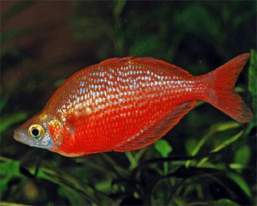 Red Rainbow Fish 3 Inch Rainbow Fish Fish Freshwater Fish