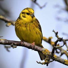 Yellowhammer  #Nature #Wildlife #Birds #Yellowhammer #yellow #shillito #wood #woods #Woodland #Forest #Peakdistrict #Countryside #instagram #Photography #birdphotography #nikon #animals #ukbirds #ukwildlife #uknature