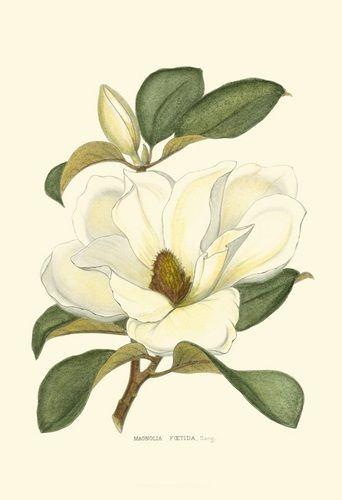 Magnolia In 2020 Flower Drawing Botanical Illustration Botanical Prints