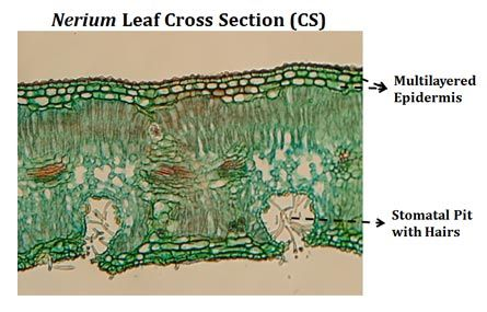 Dicot Leaf Dorsiventral Leaf Structure With Ppt Nerium Leaf Structure Things Under A Microscope