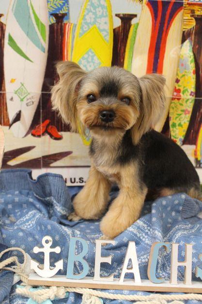 バタフライ イヤー トリミングカット写真集 ドッグカフェ Jp ヨークシャーテリア ヨークシャテリア 犬