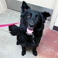Portland Oregon Border Collie Meet Nessa A For Adoption