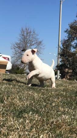 English Bull Terrier Puppies Hesperia Dogs Puppies Orange