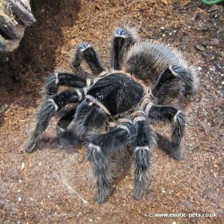 d59e71cab1f3f2786e9448153d7ce9a4 - How To Get Rid Of Tarantulas In My House