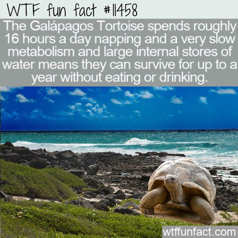 WTF Facts : funny, interesting  weird facts WTF Fun Fact - Galapagos Tortoise Incredible Metabolism #wtf #funfact #wtffunfact 11458 #Animals #funnyfacts #GalapagosTortoise #metabolism #randomfact #randomfacts #randomfunnyfact #survive #water #wtffunfact