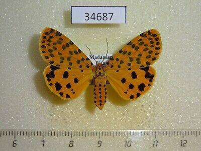 Vietnam Noctuidae sp7