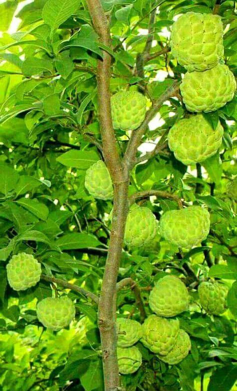 Atis (Sugar apple/Sweetsop/Custard apple) tree & fruit