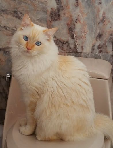 Flame Point Maine Coon : flame, point, maine, Ragdolls, Ragdoll, Breed, Colors, Flame, Point, Breeds, Ragdoll,, Breed,
