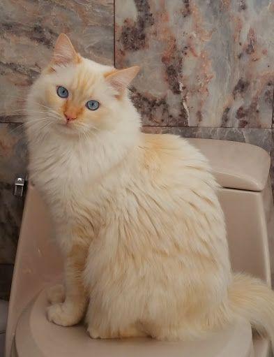 Red Ragdolls Ragdoll Cat Breed Colors Flame Point Ragdoll Cat Breeds Ragdoll Ragdoll Cat Breed Cat Breeds