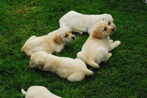 Akc Ofa English Fox Red Yellow Black Labrador Retriever Puppies Http Www Terrificpets Com Dogs For Sale Viewad Dogs And Puppies Labrador Retriever Animals