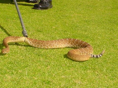 In Southern California Sometimes RattlesnakeCatching Is Part Of
