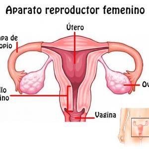 Aparato Reproductor Femenino Y Sus Partes Aparato Reproductor Femenino Aparato Reproductor Sistemas Del Cuerpo