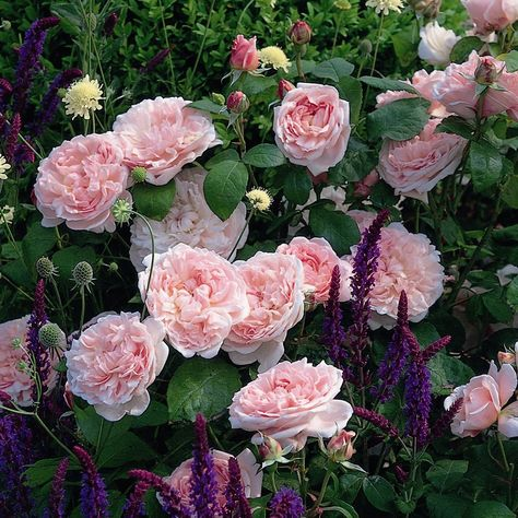 Buy Rose & Salvia plant combination Rose and Salvia plant combination: £86.94 Delivery by Crocus