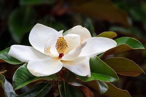 A Large Creamy White Southern Magnolia Flower Blossom Is Circled By The Glossy Green Leaves Of The Photographic Print By Kenneth Keifer Magnolia Tree Types Magnolia Flower Magnolia Trees
