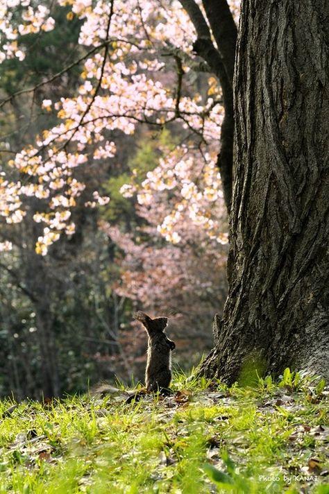sakura looked up  by Yuki Kanai