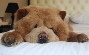 Meet Chowder The Chow Chow That Looks Like A Giant Teddy Bear 30