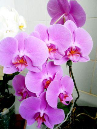 My Lovely Phalaenopsis Moth Orchid Cantiknya Anggrek Bulan Pink