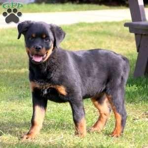 Fancy Rottweiler Puppy For Sale In Pennsylvania Rottweiler