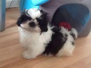 Shih Tzu For Adoption Colorado Shih Tzu Puppy Shihtzu Shih Tzu Puppy Shih Tzu Shih Tzu Grooming