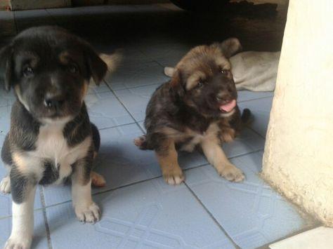 Anjing Herder Bersaudara