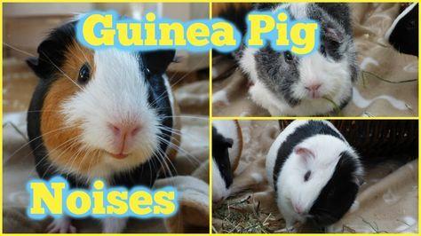 Pin On Hamster Guinea Pig