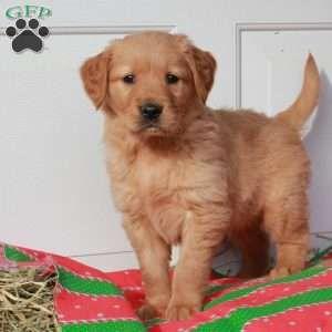 Golden Retriever Puppies For Sale Dogs Golden Retriever Bulldog