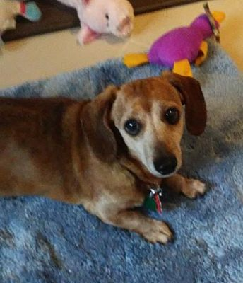 Minneapolis Mn Dachshund Meet Liliosa A Pet For Adoption