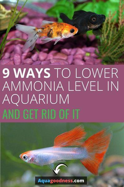 d60829b91cac34eb9af1dec2879a4419 - How To Get Ammonia Out Of My Fish Tank