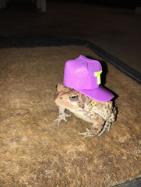 Post with 23950 votes and 1253224 views. Tagged with funny, aww, creativity, toad, hat; Shared by The toad that hangs out on my porch needed a hat Cute Animal Memes, Cute Funny Animals, Funny Cats, Cute Frogs, Frog And Toad, Frog Frog, Cute Little Animals, Amphibians, Cute Babies