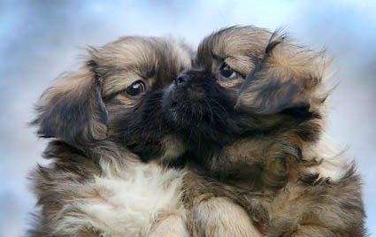 Tibetan Spaniel Pups Spaniel Puppies Spaniel Breeds Tibetan Spaniel