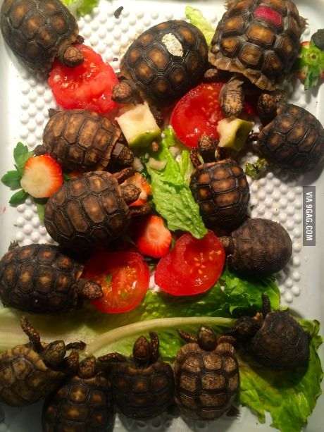 Dinner time for baby red footed tortoises!