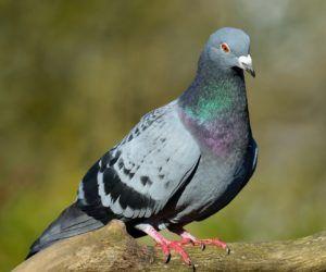 d6190231fef60fbdb1b096149c8a75a9 - How To Get Rid Of Pigeons In My Barn