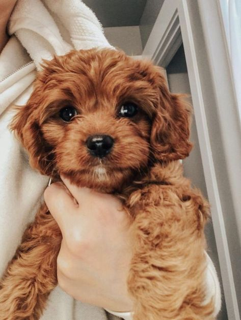 14 Cute Poodle Photos You've Ever Seen   PetPress Teddy Bear Puppies, Cavapoo Puppies, Spaniel Puppies, Cute Dogs And Puppies, Bear Puppy, Doggies, Goldendoodles, Cavoodle Dog, Puppy Husky
