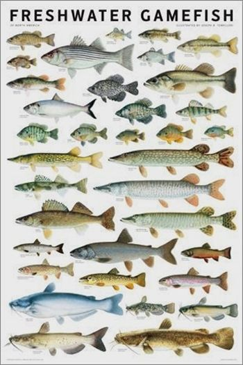 Try Out This Great Fishing Advice Today Fish Chart Freshwater Fish Bass Fishing
