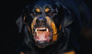 Petbag للحيوانات الاليفة كلب الروت وايلر مميزاته و عيوبه Angry Dog Dangerous Dogs Aggressive Dog