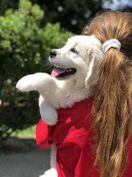 Litter Of 7 Golden Retriever Puppies For Sale In Stockbridge Ga