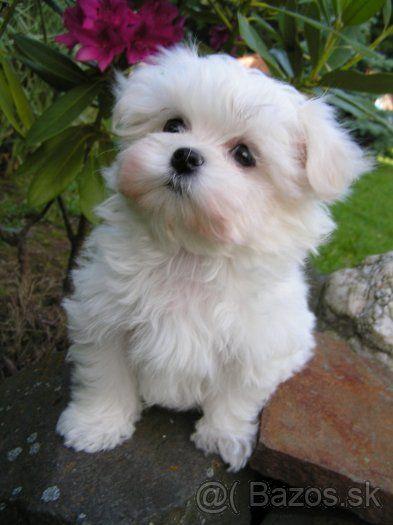 Maltezsky Psik Maltezacek 1 Maltese Maltese Puppy Cute