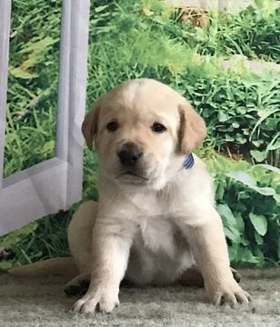 Labrador Retriever Puppy For Sale In New Albany Pa Adn 67298 On