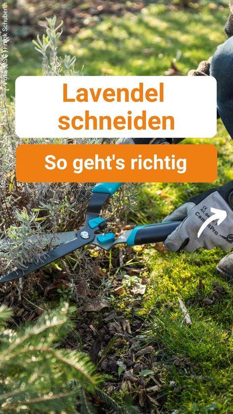 Lavendel schneiden: So geht's richtig