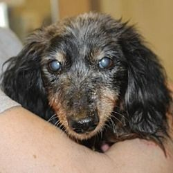 Dachshund Dachshund Dachshund Adoption Pet Adoption