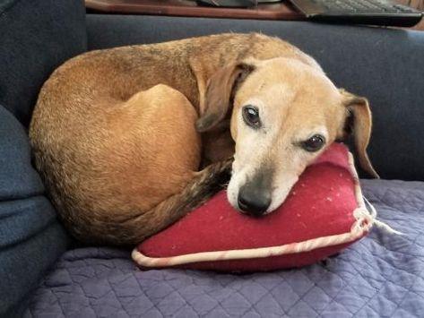 Adopt Miles On Adoptable Dachshund Dog Dachshund Dachshund Rescue