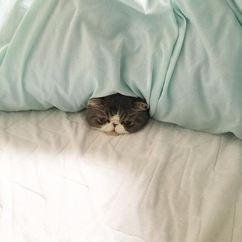 exotic.toshi シュウマイは崎陽軒。 #ムスカ#cats#cat#pets #pet #cute #catiloverclub #猫 #エキゾチックショートヘア#twitterweek#exoticshorthair#cat_features#instacat#catsgram#catsofinstagram#kitten#meow#catlover#catsagram#catlovers#cat_features#catlife#catlove#catsgram#cutecat#cutecats#Instagramjapan#topcatphoto#kittylove#mycat#instacats#instacat#ふわもこ部  2017/03/24 15:47:17