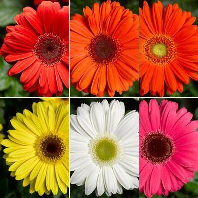 Gerbera Bengal Mix F1 Gerbera Gerbera Daisy Popular Flowers